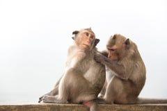 Monkey os pares que sentam-se no concreto e apaixonado, sentindo no amor Foto de Stock Royalty Free