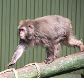 Monkey. A monkey out for a walk on a stick Stock Image