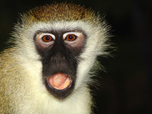 Monkey is outraged Royalty Free Stock Image