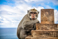Monkey overlooking ocean Royalty Free Stock Images