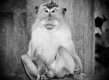 A monkey in Padang Padang Royalty Free Stock Images