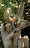 Monkey. A pair of monkeys hanging around under tree branches watching the crowd Royalty Free Stock Photo