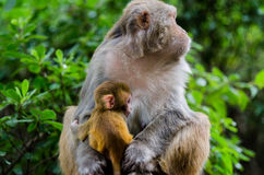 The monkey. A pair of rhesus monkey mother sitting on the stone bench Royalty Free Stock Photo