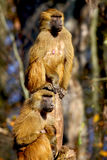 Monkey. Papio baboon monkey on the tree look at their family constantly moving royalty free stock image