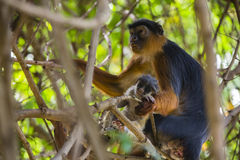 Monkey parent and baby. At Kololi. Gambia Royalty Free Stock Photo