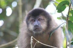 Monkey in the park of Iguazu Stock Photo