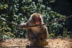 Monkey park. Kyoto, Japan - October 23: Front view of Monkey in Arashiyama Park Royalty Free Stock Photo