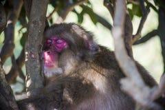 Monkey park. Kyoto, Japan - October 23: A sleepy monkey hanging from a tree in Arashiyama Park Royalty Free Stock Image