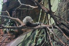 Monkey& x27; parte posterior de s Fotos de archivo libres de regalías