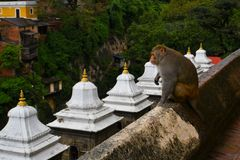 Monkey at Pashupatinath temple, Khatmandu Royalty Free Stock Photo