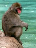 Monkey Pause. A Rhesus monkey taking a break Stock Images