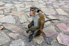 Monkey on pavement Stock Images