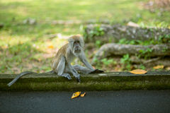 Monkey at Penang botanical garden. Monkey at the botanical garden, Penang state of Malaysia Stock Photos