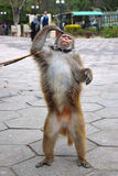 Monkey Performance!. A monkey is performing funny acts to earn for his master in the city of Islamabad, Pakistan Stock Photo