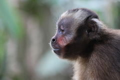 Monkey in Peru Royalty Free Stock Photo