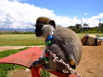 Monkey. Pet with colorfull necklace Royalty Free Stock Image