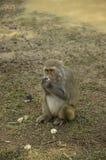Monkey pets Stock Photos