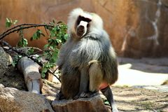 Phoenix Zoo, Arizona Center for Nature Conservation, Phoenix, Arizona, United States. Monkey at the Phoenix Zoo, Center for Nature Conservation, located in Stock Photos