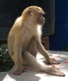 Monkey. Phuket island Thailand asia royalty free stock photography
