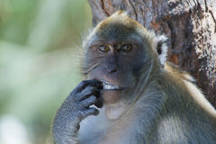 Monkey picking its teeth Royalty Free Stock Images