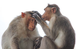 Monkey picking lies Stock Photography