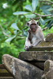 Monkey picking teeth. At the stone gate of Tanah Lot Temple Stock Photo