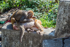 A monkey picks the lice from another monkey Royalty Free Stock Photography
