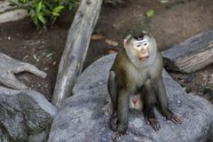 Monkey (Pig-tailed macaque) Stock Photos