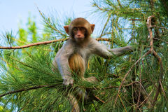Monkey on the pine-tree Stock Photography