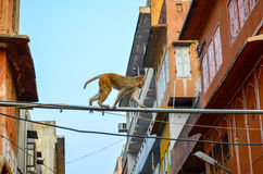 Monkey in the Pink City of Jaipur, Rajasthan state, India. Macaques monkey roaming free the streets of Pink City, Jaipur Royalty Free Stock Photography