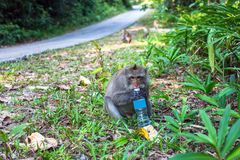A monkey with a plastic bottle sits on the side of the road. Nature. Royalty Free Stock Photo
