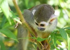 Monkey Play Royalty Free Stock Images
