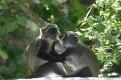 Monkey Play. Adolescent Monkey Friends Wrestling royalty free stock image