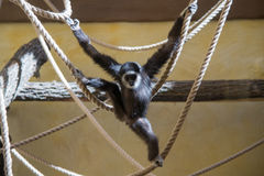 Monkey plays on rope. And have fun Stock Image