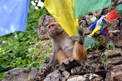 Monkey playing with Buddhist prayer flag Stock Images