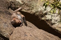 Awesome looking of a monkey playing near a water pool. He cling on big straight  stone after bath & enjoying there. Monkey playing & enjoying by bathing . Then Stock Photography