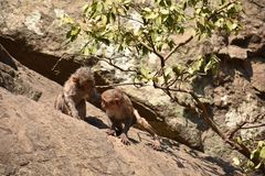 Awesome looking of a monkey playing near a water pool. He cling on big straight  stone after bath & enjoying there. Monkey playing & enjoying by bathing . Then Royalty Free Stock Images