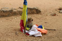 A monkey playing with the flag in Polonnaruwa Ancient City stock photo