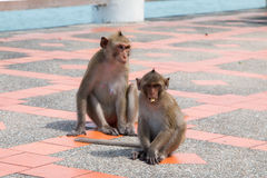 Monkey playing floor footpath Stock Image
