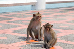 Monkey playing floor footpath Royalty Free Stock Images