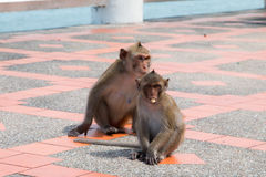 Monkey playing floor footpath Royalty Free Stock Photo