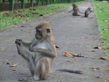 Monkey playing a fool. Taken at riverside road in Singapore, monkey checking out his foot. Species is called Long tailed macaque. On concrete footpath Stock Photos