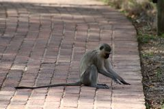 Monkey playing with an insect in the savanna. – South Africa Royalty Free Stock Photo