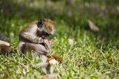 Monkey playing with its foot Royalty Free Stock Photography