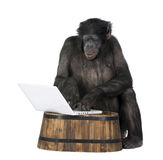 Monkey playing with a laptop. Monkey (Mixed-Breed between Chimpanzee and Bonobo) playing with a laptop (20 years old) in front of a white background Stock Image