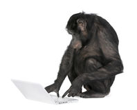 Monkey playing with a laptop. Monkey (Mixed-Breed between Chimpanzee and Bonobo) playing with a laptop (20 years old) in front of a white background Stock Photo