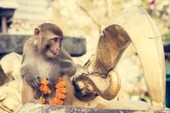 Monkey playing with religious offering. Royalty Free Stock Image