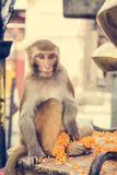 Monkey playing with religious offering. Royalty Free Stock Images