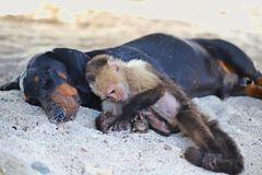 White faced monkey playing in the sand with his best friend. Monkey playing in the sand with his best friend. relax and enjoying just to be togheter Stock Image