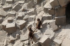 Monkey playing. Two monkey baby's playing outside on rocks Royalty Free Stock Photos